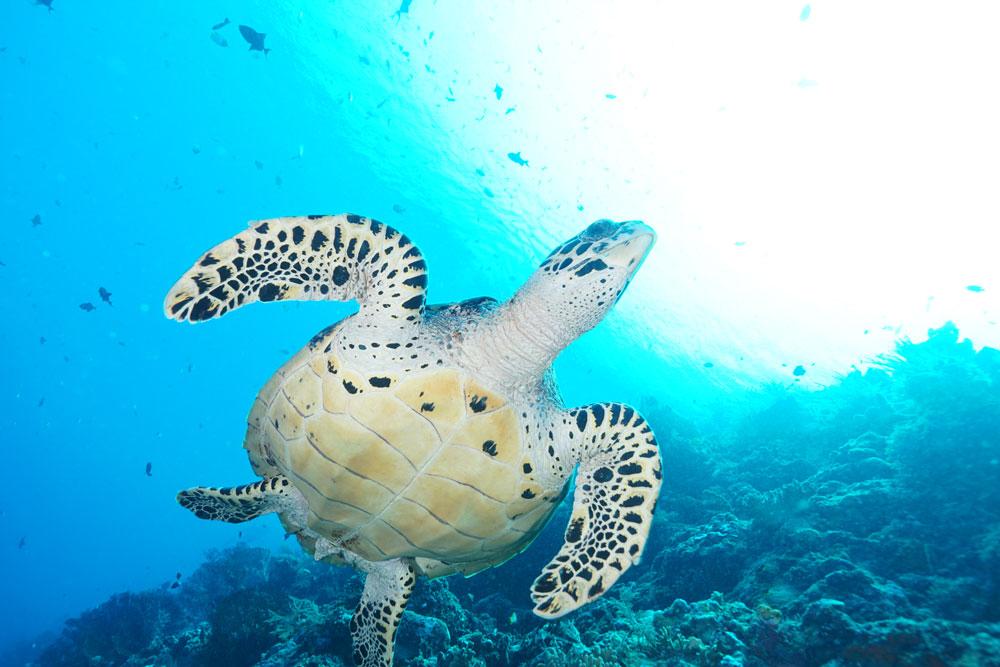 インドネシアのウミガメ