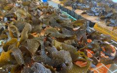 引き続き、海藻